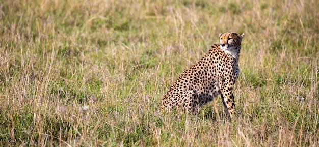 Een cheetah zit in het graslandschap van de savanne van kenia