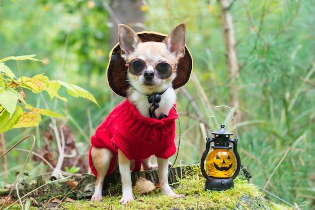 Een chihuahua-hond met een zwarte bril zit naast jack olantern op halloween-dag