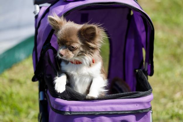Een chihuahua-hond zit in een kinderwagen. een huisdier uitlaten in de stad. hoge kwaliteit foto