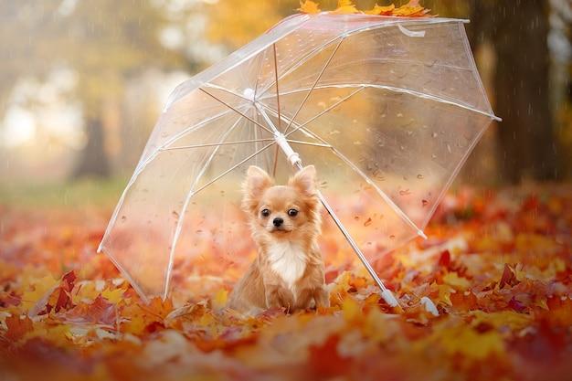 Een chihuahua zit in de bladeren onder een paraplu
