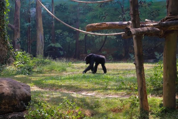 Een chimpansee in een kooi uit de dierentuin