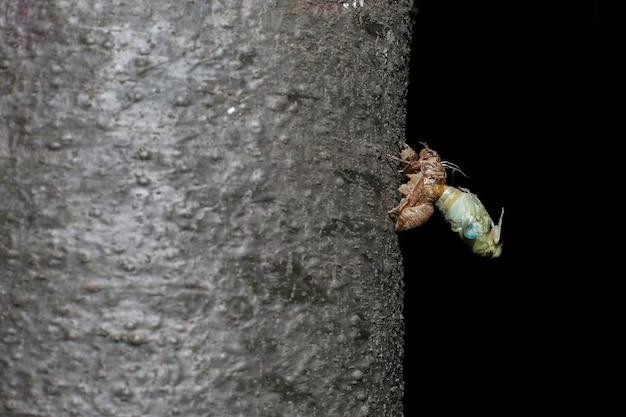 Een cicade aan de pijnboom vlak voordat hij volwassen wordt