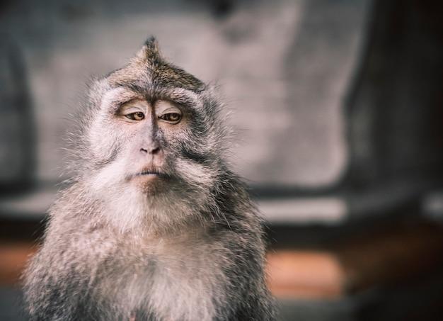 Een close-up foto van een balinese aap met een serieus gezicht dat de andere kant op kijkt en een zeer memorabele foto creëert. er is voldoende negatieve ruimte om er typografie op te schrijven.