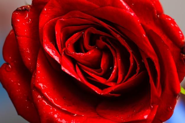 Een close-up macro-opname van een rode roos