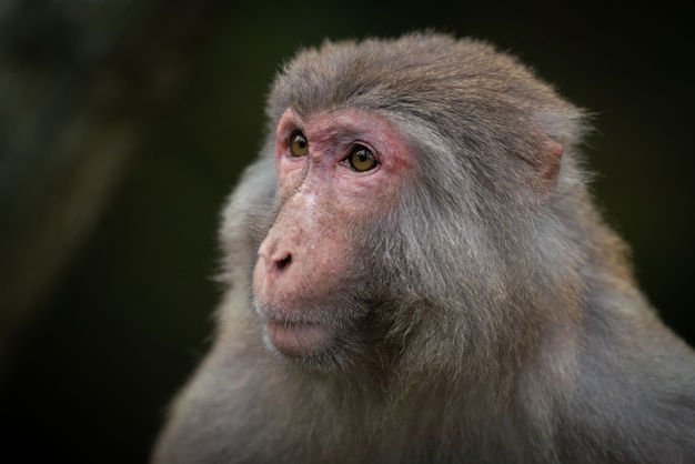 Een close-up shot van een japanse makaak