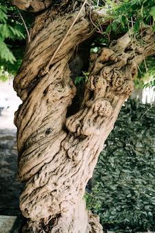 Een close-up van een bruine wisteria hobbelige stam.