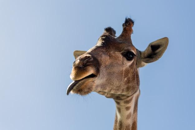 Een close-up van een giraf met zijn tong uitsteekt