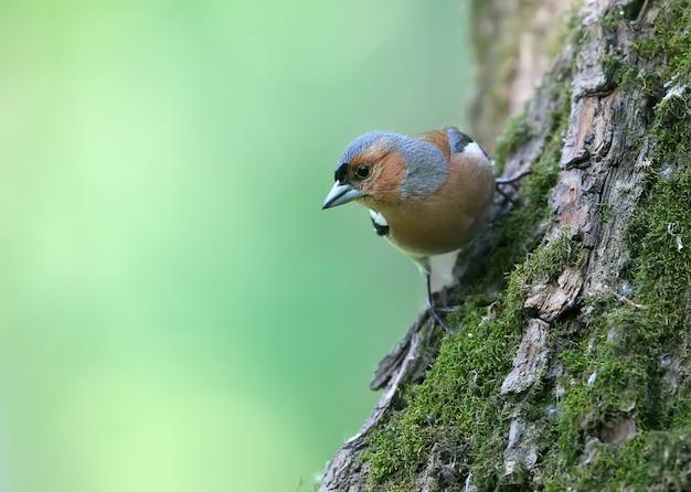 Een close-up van een mannelijke vink. gefotografeerd op een boom. identificatietekens van de vogel zijn duidelijk zichtbaar.