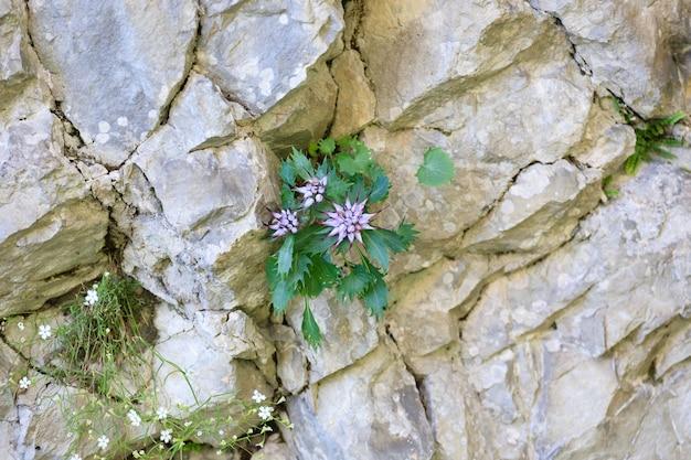 Een close up van een physoplexis comosa, getufte gehoornde rampion, zeldzame bloem, italiaanse alpen