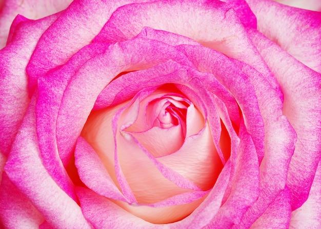Een close-up van een roze roos