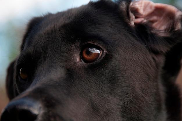 Een close-up van een zwart retrieversgezicht