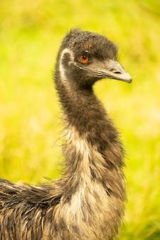 Een close-up van het hoofd en de nek van een emoe`