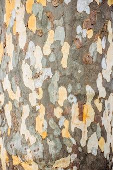 Een close up van het oppervlaktepatroon gecreëerd door de schors op de stam van een plataan. patronen op de schors van plataan of platanen boom. textuur van de schors van de plataan