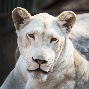 Een close-up wit leeuwgezicht in de dierentuin