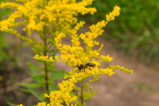 Een close-upbij verzamelt in de zomer stuifmeel van een gele bloem