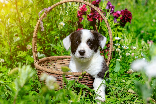 Een corgi-puppy zit in een rieten mand op het gras
