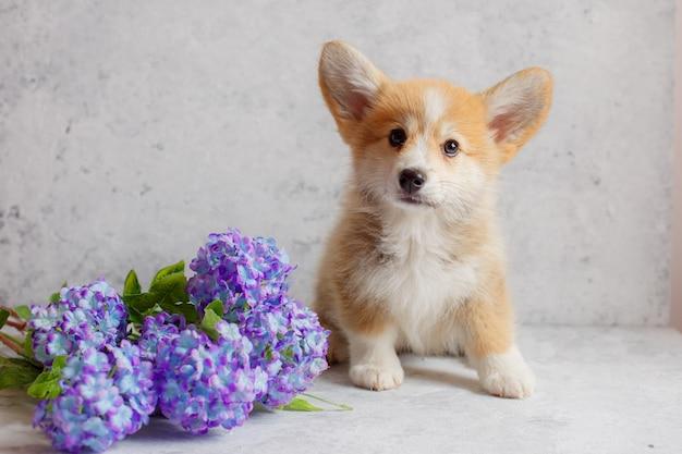 Een corgi-puppy zit