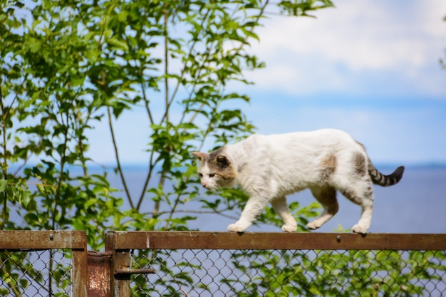 Een dakloze driekleurige kat (wit, zwart en bruin) met een bekraste neus is niet bang om te vallen. verdwaalde kat loopt op de top van het hek tegen de achtergrond van de zee en de wolken.