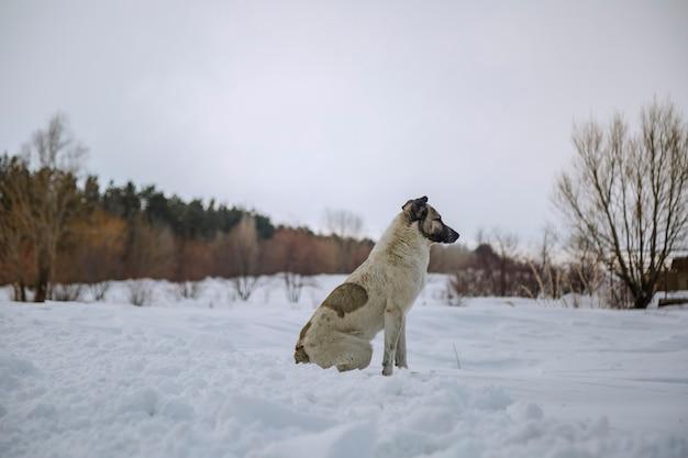 Een dakloze hond die in de winter op sneeuw zit en naar iets kijkt