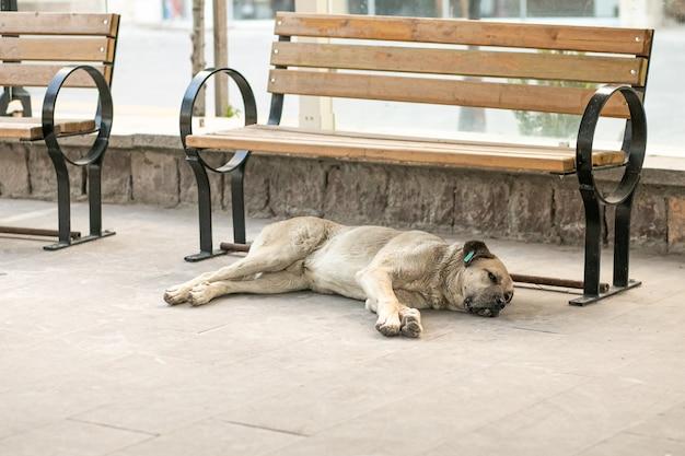 Een dakloze hond met een chip in zijn oor ligt op de grond in de straat bij een bankje, het thema van de bescherming van dakloze dieren