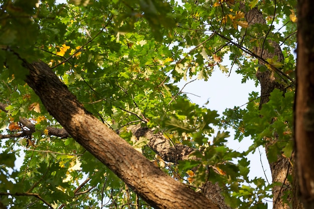 Een deel van de stam en takken met het groene gebladerte van de eik in de herfst, de bladeren begonnen voor de bladeren geel te verkleuren