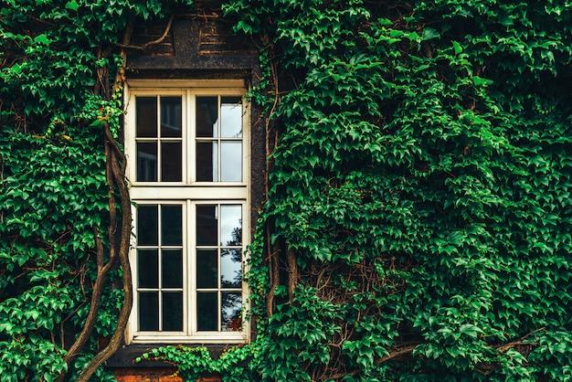 Een deel van oude muur in leafes met venster op het