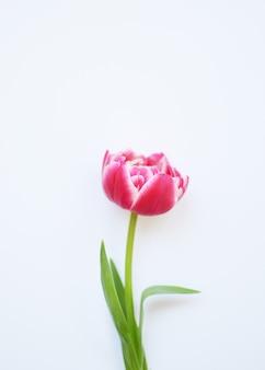 Een delicate pioenrode tulp met groene bladeren op een roze ondergrond.