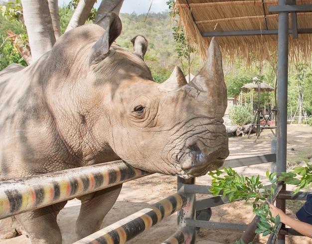 Een dichte omhooggaande foto van een bedreigde witte rinoceros eet gras