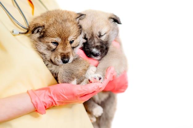 Een dierenarts houdt twee bastaardhonden en een kitten vast op een witte achtergrond, die zich voorbereiden op vaccinatie. diergeneeskunde