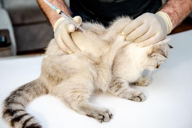 Een dierenarts in witte wegwerphandschoenen vaccineert een witte britse kat een injectie voor een huisdier in de dierenkliniek