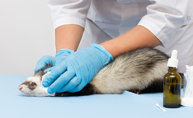 Een dierenarts onderzoekt een huisdierenfret naar een dierenkliniek