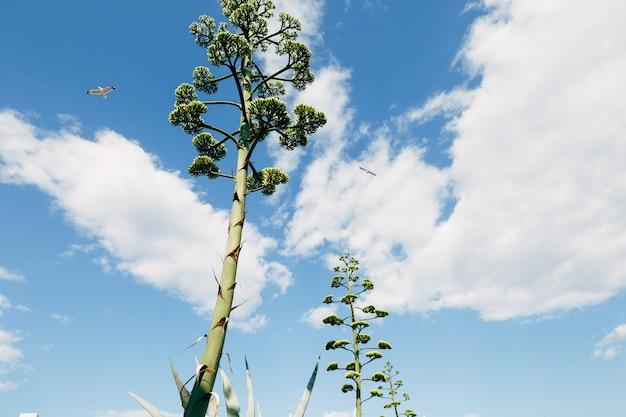 Een donzige kroon van een bloeiende agave tegen de blauwe lucht, wolken en twee vliegende vogels