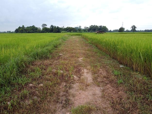 Een doorgaande weg in de groene rijstvelden met op de achtergrond een hutje in een rustige omgeving.