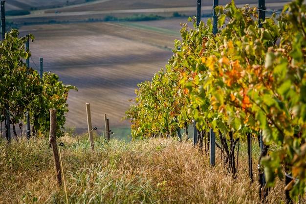 Een druivenwijnwerf met groene wijnstokrijen op een aardig gebied