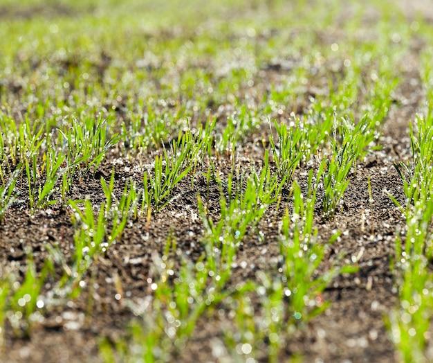 Een druppel water en sporen van rijp blijven achter op groene tarwestelen