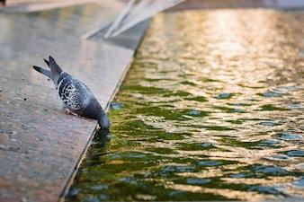 Eén duif drinkt water uit een fontein