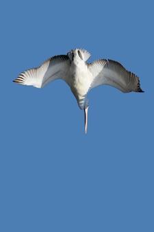 Een duikende dalmatische pelikaan op blauwe hemel