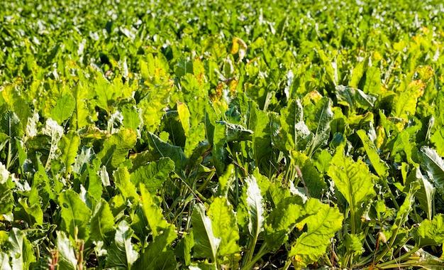 Een echt agrarisch veld waarin landbouwactiviteiten worden ontplooid om een grote oogst aan suikerbieten te verkrijgen