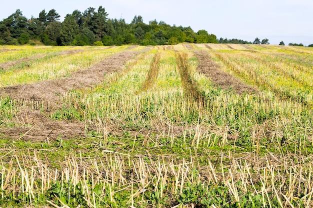 Een echt landbouwveld waar een nieuwe oogst koolzaad wordt verbouwd en geoogst