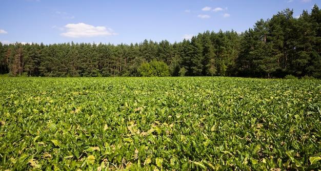 Een echt landbouwveld waar een nieuwe oogst suikerbieten wordt verbouwd