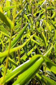Een echt landbouwveld waar een nieuwe oogst suikermaïs wordt verbouwd
