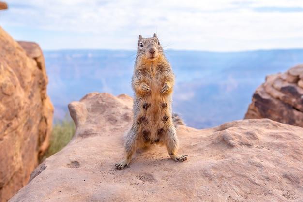 Een eekhoorn die met toeristen speelt in south kaibab trailhead. grand canyon, arizona