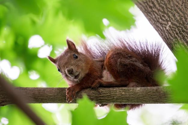 Een eekhoorn op een boom met oranje vacht