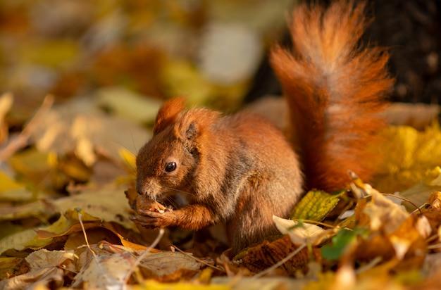 Een eekhoorn zit op gevallen bladeren en eet een walnoot. close-up portret