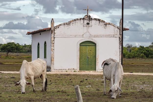 Een eenvoudige kerk in een landelijke omgeving met gratis grazend vee op een boerderij en droge vegetatie in het noordoosten van brazilië.