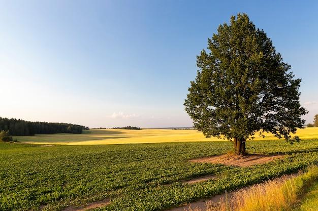 Een eenzame boom groeit in een woestijngebied, de boom is lang en onderscheidt zich van de andere bomen, prachtige natuur met een eenzame enkele boom