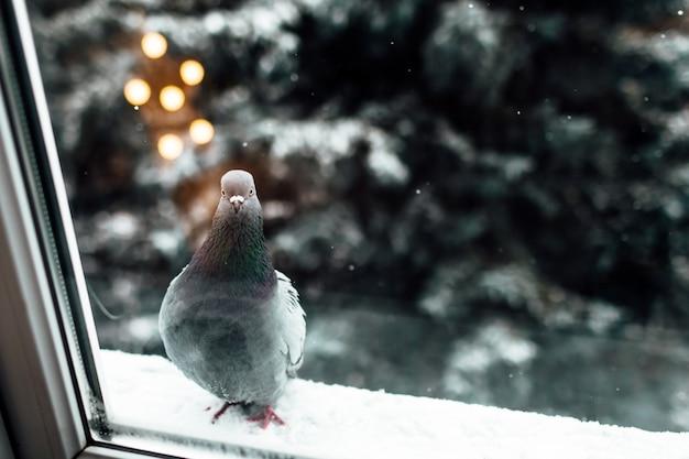 Een eenzame duif zit op de richel buiten het raam. de duif voelt koud, hongerig, eenzaam, angstig, nieuwsgierig. duif in de winter
