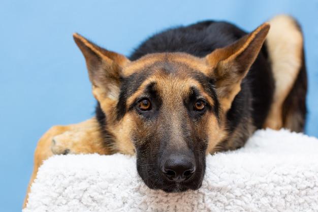 Een eenzame duitse herder die rust. verdrietig ziek zieke hond