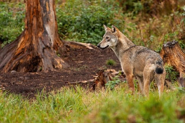 Een eenzame grijze wolf die het betoverende bos observeert.