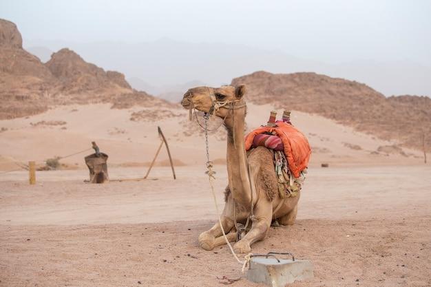 Een eenzame kameel vastgebonden in de woestijn in sharm el sheikh, egypte